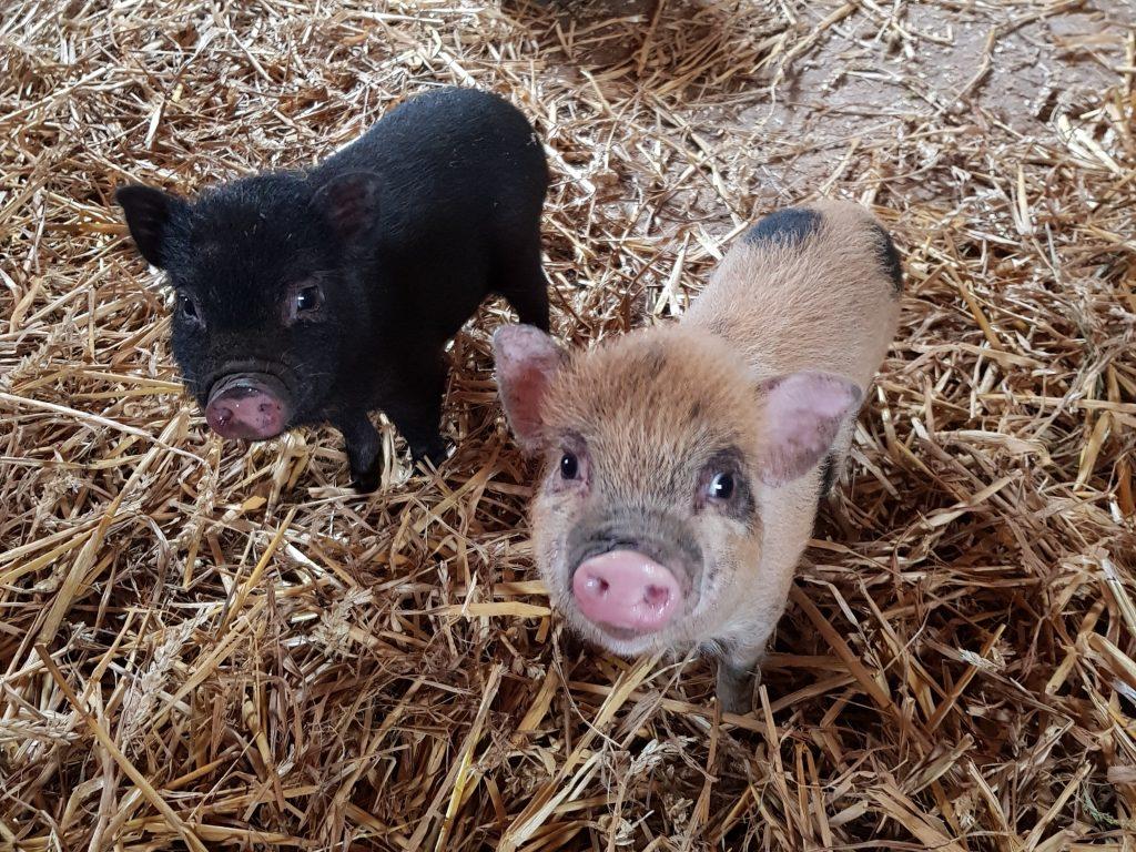 Hängebauchschweine Ferienhof Schwien